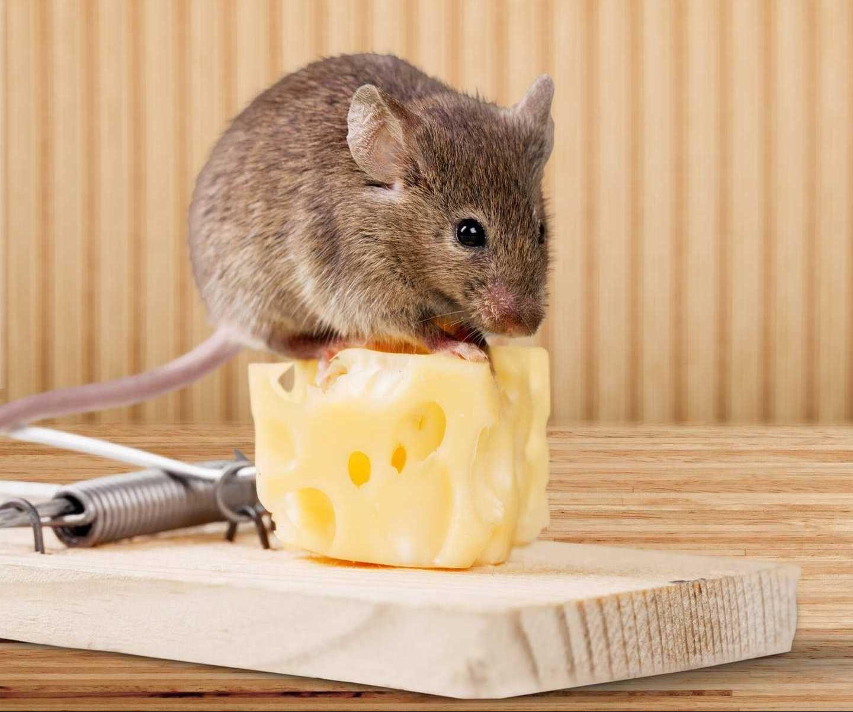Mách bạn các cách đuổi chuột hiệu quả và thông dụng nhất